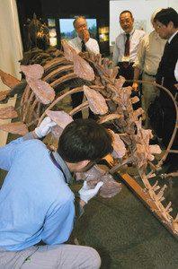 よろい竜ジンユンペルタの全身骨格の組み上げを熱心に見入る関係者=勝山市の県立恐竜博物館で