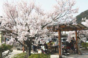 花見を楽しむ団体。早咲きのコシノヒガンは満開=砺波市庄川町金屋で