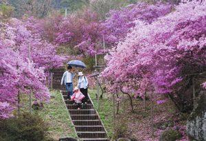 ミツバツツジが咲き誇る園内を散策する来場者=南木曽町の天白公園で
