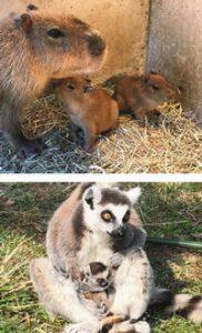 (写真上)母親にぴったり寄り添うカピバラの赤ちゃん (同下)母親に抱っこされて気持ちよさそうなワオキツネザルの赤ちゃん=伊東市の伊豆シャボテン動物公園で