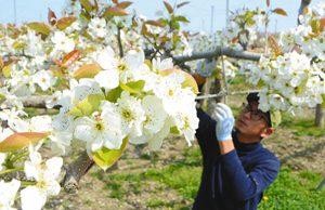 見頃を迎えたナシ畑で花の摘み取り作業をする寺島さん=竜王町山之上で