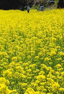 一面に咲き誇る遊休農地を利用した菜の花畑=南木曽町で