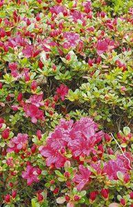 咲き始めた早咲きのキリシマツツジ=松川町の台城公園で