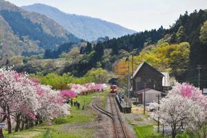 山あいを走るJR越美北線沿線を美しく彩る満開のハナモモ=大野市の勝原駅付近で