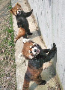 同居するモッチー(奥)と一緒に一般公開されるまつば=鯖江市西山動物園で