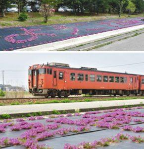 (上)開花して「ようこそ高岡へ」の文字が浮かび上がるシバザクラ(下)シバザクラのそばを走り抜けるJR城端線=いずれも高岡市戸出栄町で