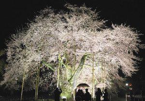雨が降る中、試験点灯でライトアップされた荘川桜=高山市荘川町中野で