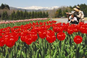 美しく咲いたチューリップ。遠くに雪山が見える=郡上市高鷲町の「ひるがの高原牧歌の里」で