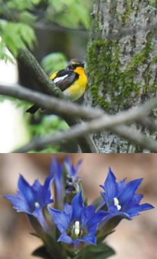 (上)美しいさえずりを響かせたキビタキ=岡谷市塩嶺の県小鳥の森で(下)青紫色のフデリンドウ
