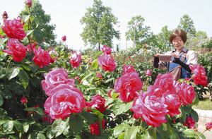 多種多様な1200本ものバラが咲き誇る会場=彦根市開出今町の庄堺公園で