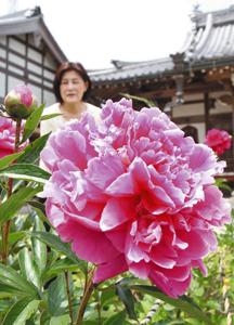 花によってピンク色にも濃淡があるシャクヤク=名張市の地蔵院青蓮寺で