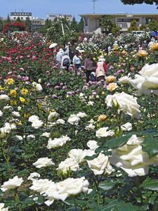 色とりどりのバラが見ごろを迎え、大勢の人でにぎわうバラ園=金沢市富樫の金沢南総合運動公園で