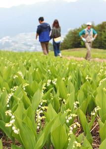 見頃を迎えたドイツスズラン=富士見町の入笠すずらん山野草公園で