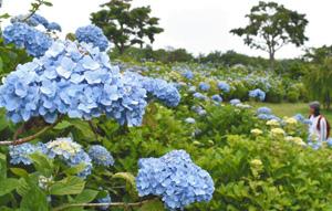 見頃を迎えた「青てまり」=津市戸木町の「かざはやの里」で