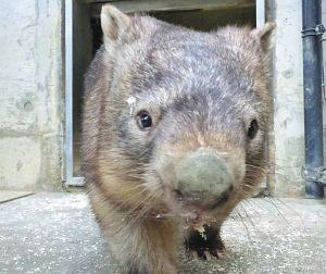 仲間入りしたウォンバット「ウォレス」=長野市茶臼山動物園で