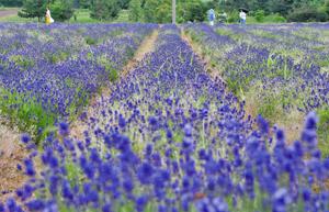 見頃を迎え、涼しげな紫色と甘い香りで訪れた人たちを楽しませるラベンダー=坂井市三国町加戸の三国ラベンダーファームで
