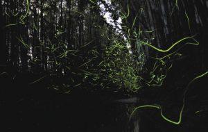 竹やぶの間を集団で飛び交うゲンジボタル=菰野町吉沢で(宇佐美さん提供)