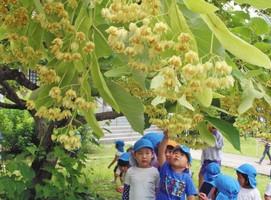 満開となり、甘い香りを振りまく菩提樹の花を楽しむ園児たち=坂井市丸岡町長崎の称念寺で