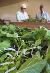 桑の葉を食べるカイコ=津市一志町高野のJA三重中央郷土資料館で