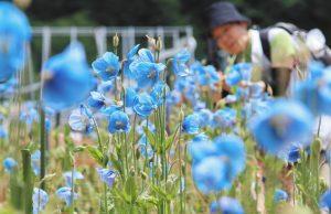 見頃を迎え美しい青色の花を咲かせるケシの花=大鹿村の中村農園で