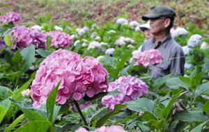 きれいな花を咲かせ、見頃となったアジサイ=一宮市光明寺の138タワーパークで