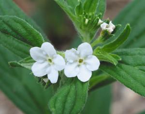 かれんな花を咲かせたムラサキ=東近江市の万葉の森船岡山で