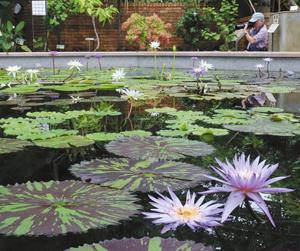 アトリウム内に咲く色鮮やかなスイレン=草津市下物町の市立水生植物公園みずの森で