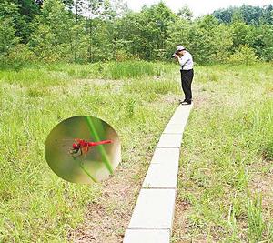 湿地内に設置された散策用の遊歩道=能美市灯台笹町の灯台笹湿地で (円内)世界最小クラスのトンボ「ハッチョウトンボ」