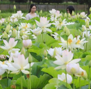 清らかな花を咲かせているハス「舞妃蓮」=羽島市桑原町前野で