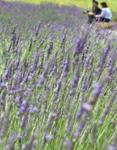 風に穂先を揺らしながら爽やかな香りを放つラベンダー=高山市清見町三日町のひだ清見ラベンダー公園で
