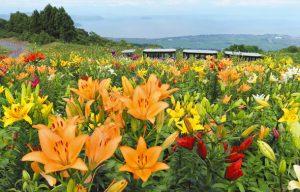 琵琶湖を望むゲレンデに咲き誇る色とりどりのユリ=高島市のびわこ箱館山ゆり園で