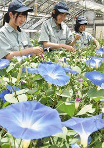 あさがお市で販売する花を手入れする生徒たち=高山市山田町の飛騨高山高山田キャンパスで