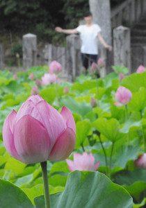 ピンク色の花が見ごろを迎えたハス=岡崎市伊賀町で