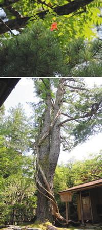 (上)朝鮮五葉松に寄り添うように咲くノウゼンカズラ(下)高さ15メートルほどの朝鮮五葉松と、松に沿うように伸びるノウゼンカズラの幹=いずれも金沢市小将町の玉泉園で