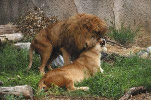 じゃれあうライオンのハヤテ(上)とオト=豊橋市の豊橋総合動植物公園で