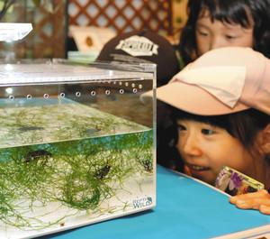 水中を泳ぐヒメフチトリゲンゴロウを眺める子ども=白山市の県ふれあい昆虫館で