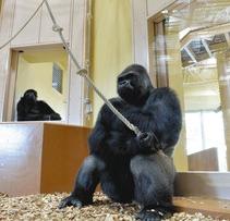 新しいゴリラ舎に引っ越ししたニシゴリラのシャバーニ(右)ら=名古屋市千種区の東山動植物園で