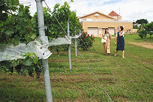 サンサンワイナリー(奥)の前に広がるブドウ畑
