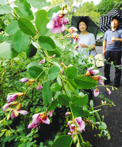 白露を迎え、雨にぬれて鮮やかに咲き始めたハギの花=森町の蓮華寺で
