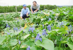 25年ぶりに群生したミズアオイ=小松市の木場潟公園で