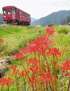 長良川鉄道の沿線に咲くヒガンバナ=郡上市白鳥町で