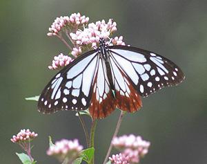 秋の七草の一つ、フジバカマの花で羽を休めるアサギマダラ=尾鷲市天満浦の天満荘で