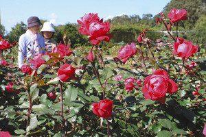 見頃を迎えた秋のバラ=可児市瀬田の花フェスタ記念公園で