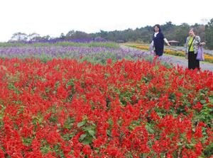 赤や紫などカラフルなセージが咲くハーブガーデン=伊賀・津市にまたがるメナード青山リゾートで
