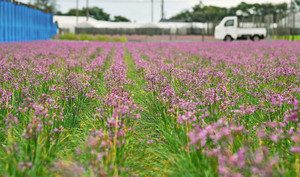 愛らしく咲き誇るラッキョウの花=坂井市三国町黒目で