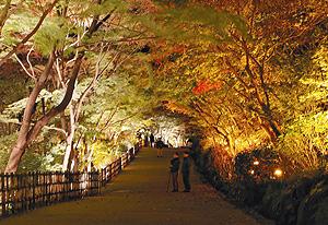 ライトアップされた五色モミジ=名古屋市千種区の東山動植物園で