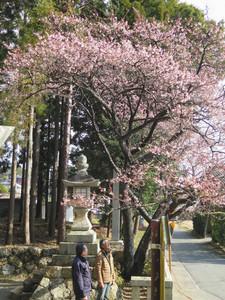 五分咲きの大知波桜=湖西市の大神山八幡宮で