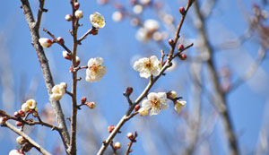 花がほころび始め、南信州に春の訪れを告げる竜峡小梅=天龍村鶯巣のうぐす梅園で