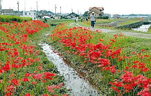 矢勝川沿いの約2キロにわたって咲くヒガンバナ