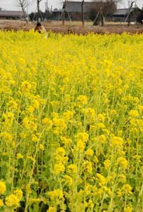 満開になり、辺り一面を黄色く染める菜の花=明和町斎宮で